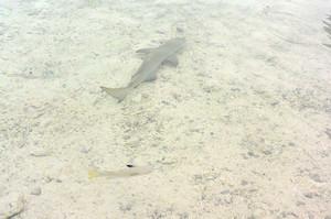 こんな浅瀬にサメ