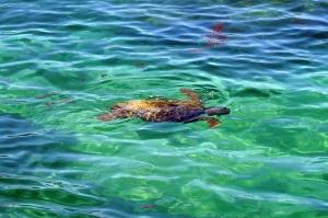 亀も泳いでいた